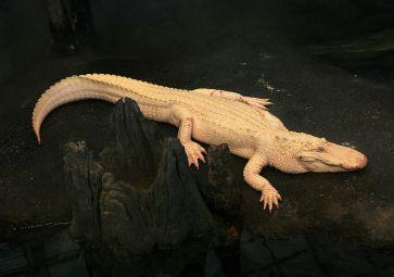 1280px-Albino_Alligator_2008
