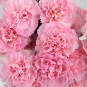 MiniCarnation-Pink_CloseUp_Temp_350_2c4728e4