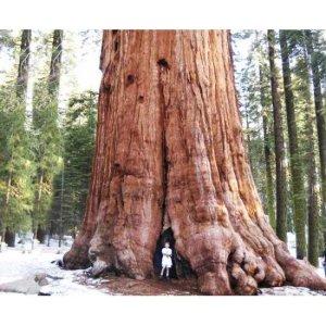sequoiadendron_giganteum_giant_tree_600x490-550x550w